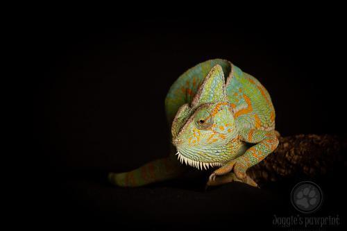 Jemen kameleon