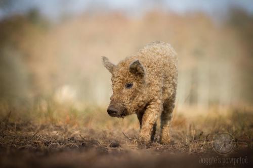 Wooly piggy
